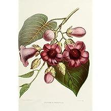 Familiar Indian Flowers 1878 Argyreia Nervosa Poster Print by Lena Lowis (18 x 24)