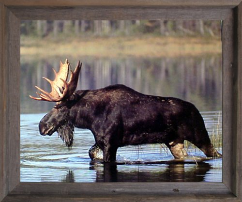 Impact Posters Gallery Framed Wall Decor Large Moose Crossing Lake G Sanker Wild Animal Barnwood Framed Art Print Picture (Wild Animals Photo Gallery)