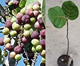 "24"" Sea Grape (coccoluba uvifera) Sapling, Extremely Salt and Sun Tolerant"