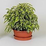 Ficus benj. 'Kinky' Houseplant in a 17cm pot. Weeping Fig