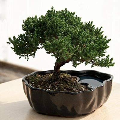 Juniper Bonsai Flowering House Tree Plant Indoor Garden Best Gift Yard Home Gift: Garden & Outdoor