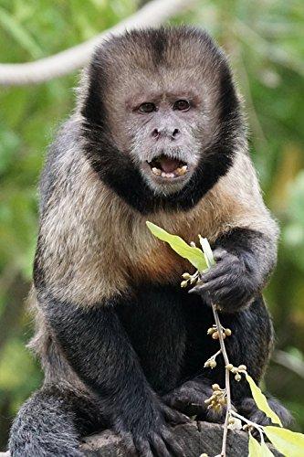 Monkeys Peel (Home Comforts Peel-n-Stick Poster of Yellow Breast Capuchin Animals Monkey Food Poster 24x16 Adhesive Sticker Poster Print)