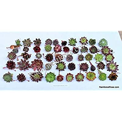 LOT 150 Sempervivum Plants Succulents 50 Varieties hens and Chicks : Garden & Outdoor