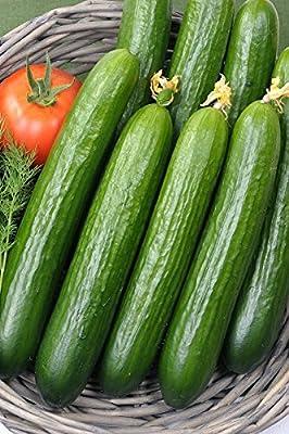 25 Cucumber Chinese Slangen Seeds