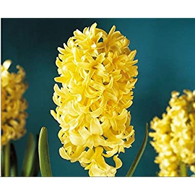 Mr.seeds 100pcs/lot Bonsai Yellow Hyacinth Seeds Balcony Plant Seeds Hyacinthus Orientalis Flower Seeds Potted Plants for Home&garden