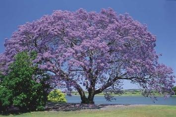 Palisanderholzbaum  250 Samen Jacaranda mimosifolia, Palisanderholzbaum ...