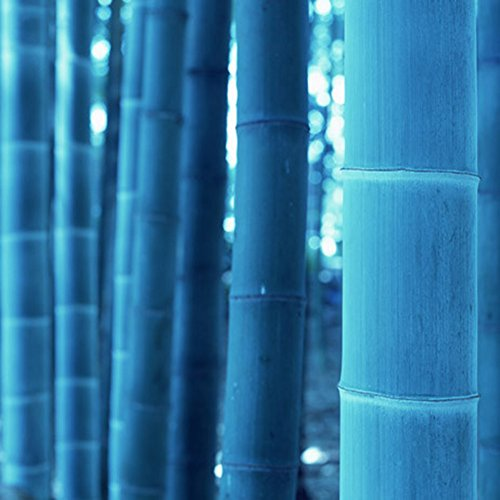 Blue Tree Bamboo (50Pcs Rare Blue Bamboo Seeds Beautiful Home Garden Decorative Tree Herb Plant)