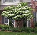 White Kousa Dogwood Tree