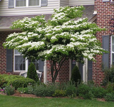 White Kousa Dogwood Tree - 3-4 ft. by Brighter Blooms (Image #1)