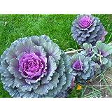 50 MIXED ORNAMENTAL CABBAGE Flowering Brassica Oleracea SeedsComb S/H by Seedville