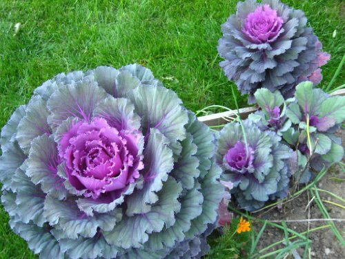 [50 MIXED ORNAMENTAL CABBAGE Flowering Brassica Oleracea SeedsComb S/H by Seedville] (Ornamental Cabbage)