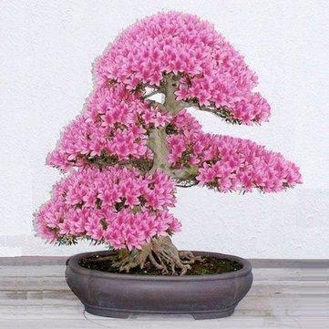 10Pcs Rare Sakura Seeds Cherry Blossoms Seeds Garden Flower Bonsai Tree - Gardening Seeds - 1 x 100 PCS Egrow Blue Insectivorous Plant Seeds