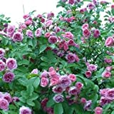 Rosa Rugosa Pink Flowers 25 Seeds (Japanese Rose Plant)