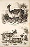 1852 Steel Engraving Antique Vicugna Alpaca Bighorn Sheep Argali Wildlife FD1 - Original Steel Engraving