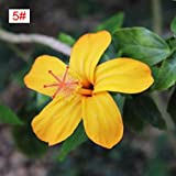 100pcs Japanese Hibiscus Seeds 5 kinds Hibiscus Rosa-sinensis Flower Seeds Hibiscus Tree Seeds for Flower Potted Home Garden(5#)