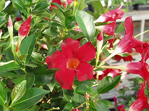 AMERICAN PLANT EXCHANGE Dipladenia Mandevilla Live Plant 6