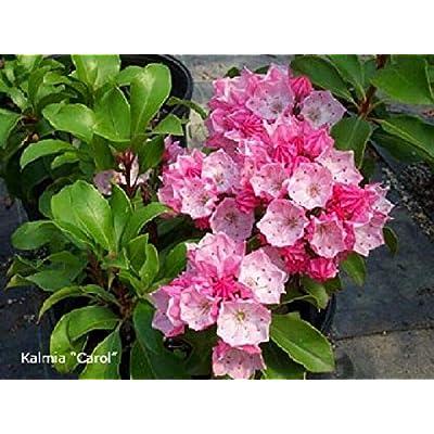 AchmadAnam - Live Plant - Kalmia LATIFOLIA. E4 : Garden & Outdoor