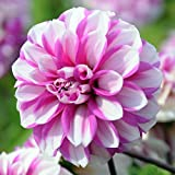 3 bulbs Dahlia Waterlily Priceless Pink