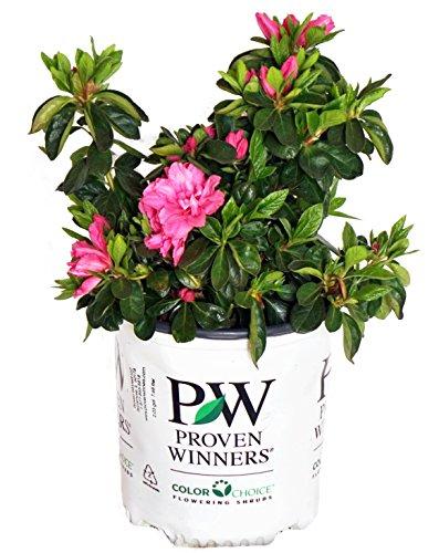 Proven Winners - Azalea - Rhod. Bloom-A-Thon Pink Double (Reblooming Azalea) Shrub, RB pink - double, #2 - Size Container