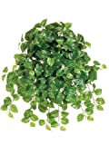 24'' Puff Pothos Hanging Bush x13 w/214 Lvs. Green (Pack of 12)