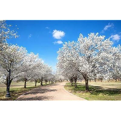 8 Fresh Cut Bradford Pear Tree Cuttings Live Plant : Garden & Outdoor