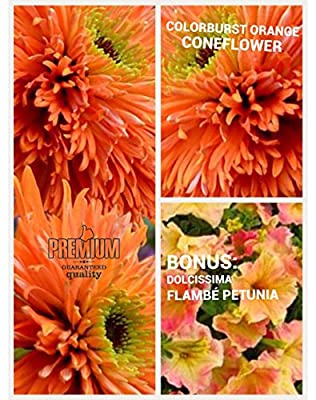 Colorburst Orange Coneflower Seeds (Echinacea) 50 Seeds Upc 600188190274 & Free Pack Dolcissima Petunia