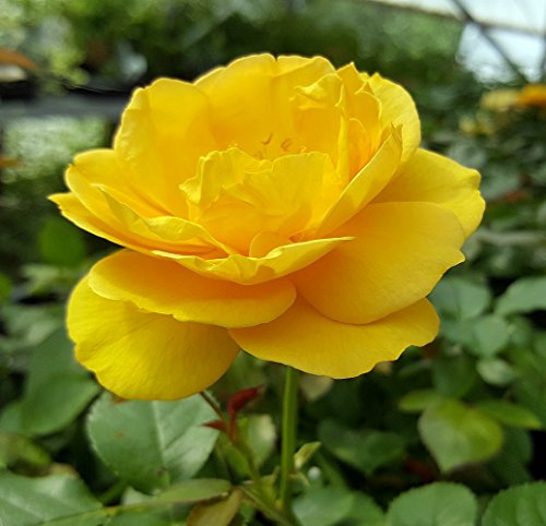 (Julia Child Rose Bush - Butter Yellow - 4