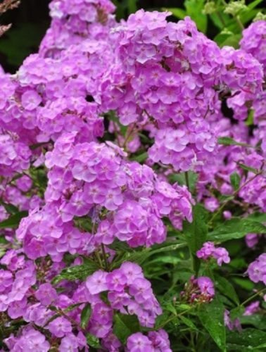 30+ Light Purple Phlox / Fragrant Shade-Loving Perennial Flower Seeds