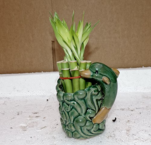 Live 10/4-6'' style Party Bamboo Plant Arrangement w/dolphin 4''Ceramic Vase-from jmbamboo