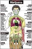 "Harmful Effects of Marijuana 24"" X 36"" Laminated Poster"