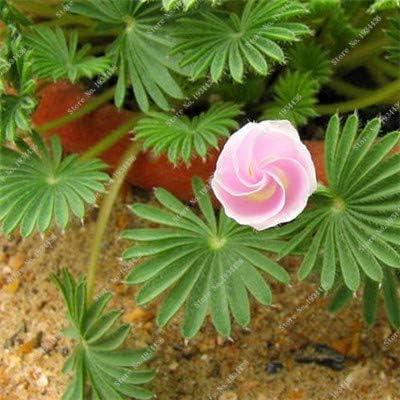 21:100ピースオオカミ木材スイバフラワーオキザリス紫シャムロッククローバー100%リアルフラワー盆栽種子多年生屋外用ホームガーデン