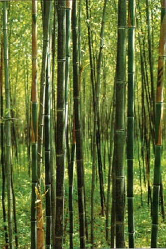Box of 10 Phyllostachys Nuda, Nude Sheath Bamboo #1 Size Live Plant
