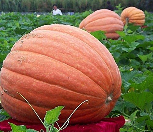 pinkdoseâ ® 2018vente chaude Graines de potiron géant davitu USA, 10pcs/pack, légumes Orange rougeâtre organiques comestibles Pinkdose®