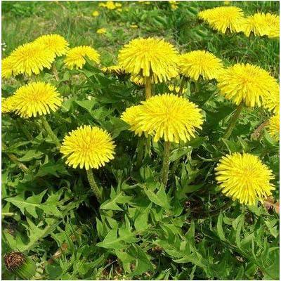 Dandelion Seeds, Taraxacum officinale Seeds, Organic Green Herb Seeds for Home Garden Planting : Garden & Outdoor