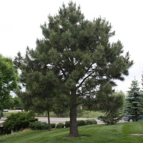 Western Yellow Pine - Pinus ponderosa Loblolly - Hardy Established Roots - 2.5