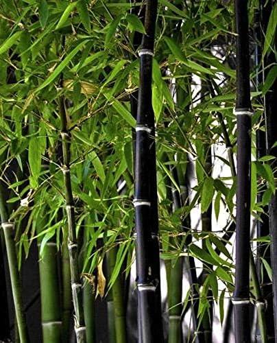 Soteer Seed House - 100 Piezas Invierno Exótico Semillas de bambú ...