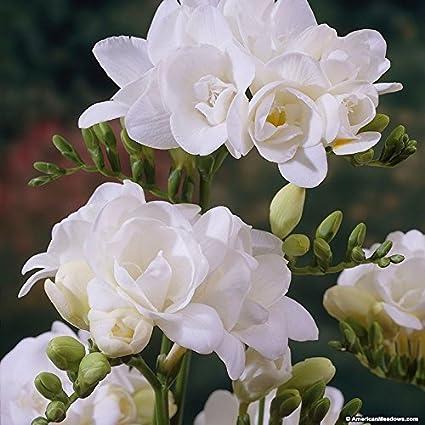 Kriti Kalash Freesia Flower Bulbsvariety White Produces Fragrant