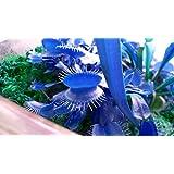 500pcsPromotion blue Dionaea Muscipula Giant Clip Venus Flytrap Seeds Bonsai plants Flower seeds