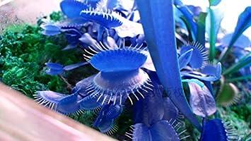 plante carnivore bleue