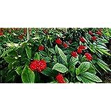 15 Seeds American Ginseng Plant, Huaquishen Panax quinquefolius