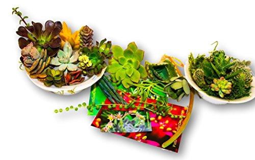 Fat Plants San Diego Succulent product image