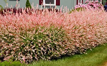 Amazon pink dappled willow tree 1 gallon live plant pink dappled willow tree 1 gallon live plant beautiful pink white and mightylinksfo Images