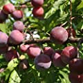"""Toka Plum Tree - AKA Bubblegum Plum Dwarf Supreme Bareroot Tree- Ships 4-5' Tall and/or with a 5/8"""" or Larger Trunk Diameter."""