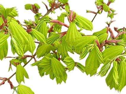 Olive Grove Acer Palmatum Shirasawanum Aureum Japanese Maple