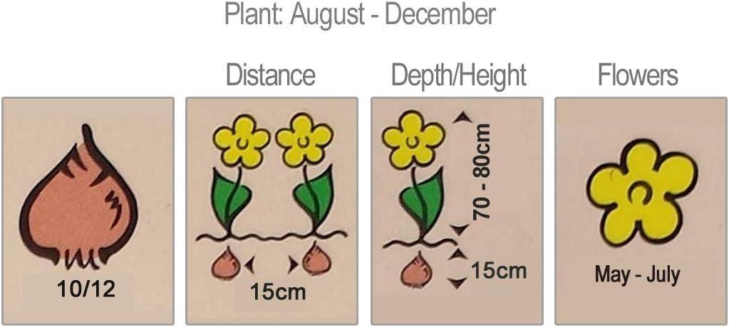 for a Beautiful Spring Garden 6 x Allium Border Mixture A Charming Border Idea