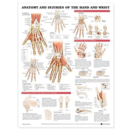 Amazon.com: Anatomy and Injuries of the Hand and Wrist Anatomical ...