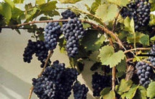 Perennial Organic Non Gmo Canadian Wild Grape Vitis Riparia 10 Seeds