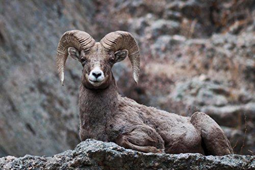 Eyes On You Bighorn Sheep Rocky Mountains Photo Art Print Poster 36x24 (Bighorn Sheep Pictures)