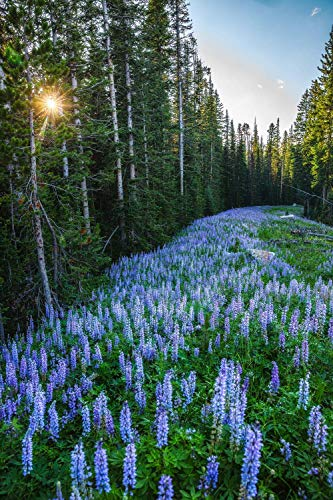 Wildflower Photography Wall Art Print - Picture of Purple Lupine Flowers in Southern Montana Rocky Mountains Nature Decor Photo 5x7 to 40x60