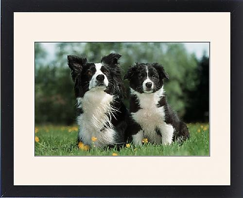 Framed Print of Dog - Border Collie - Adult with puppy sitting in garden by Prints Prints Prints